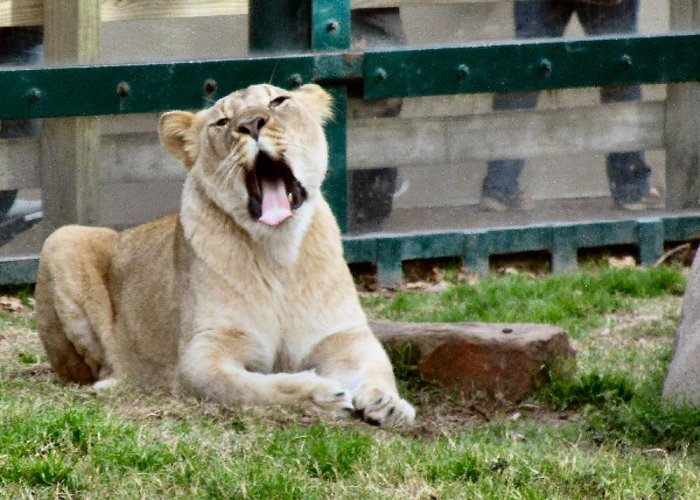 Lion Greeting Card featuring the photograph Lioness by Camera Candy
