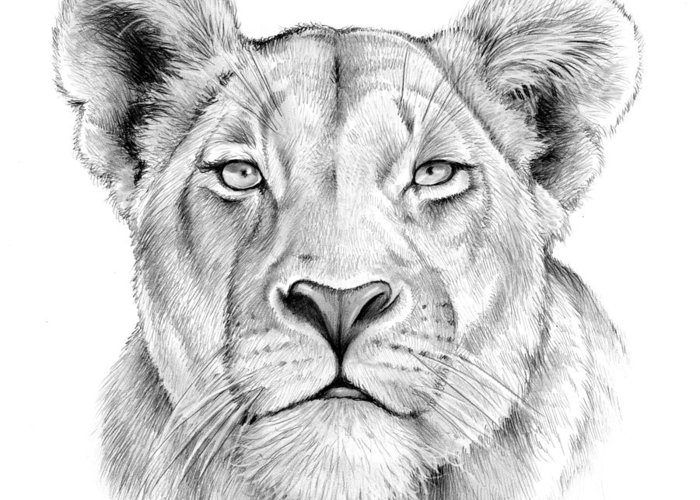 Lioness Drawings Greeting Cards