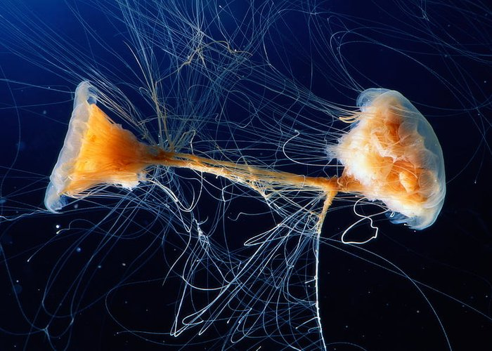 Lion's Mane Jellyfish Greeting Card featuring the photograph Lions Mane Jellyfish Cyanea Capillata by George Grall