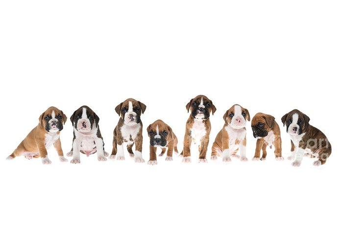 White Boxer Dog Greeting Cards