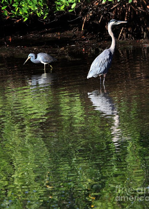 Sanibel Greeting Card featuring the photograph Little Blue Great Blue by Joseph G Holland