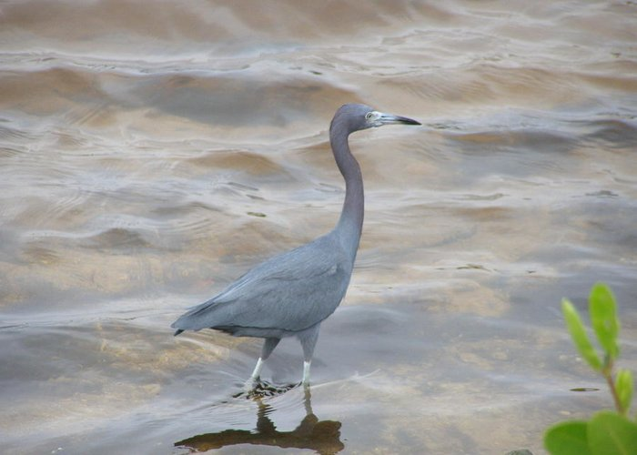 Birds Greeting Card featuring the photograph Little Blue Heron by Jeanette Oberholtzer