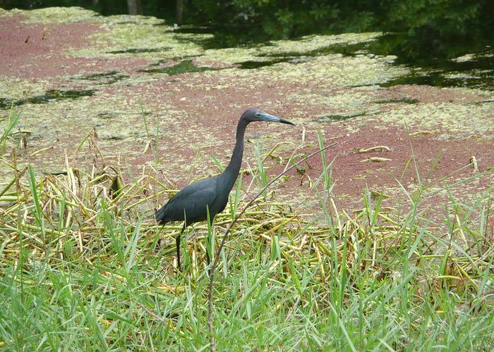 Nature Greeting Card featuring the photograph Little Blue Heron by Kathy Schumann