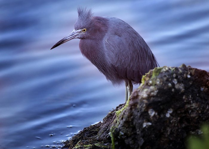 Little Blue Heron Greeting Card featuring the photograph Little Blue by Joseph G Holland