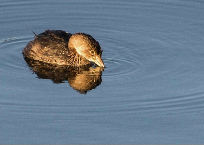 Wildlife Greeting Card featuring the photograph Little Brown Duck by John Benedict