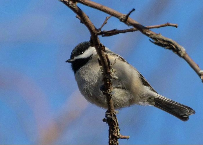 Wildlife Greeting Card featuring the photograph Little Chickadee by John Benedict