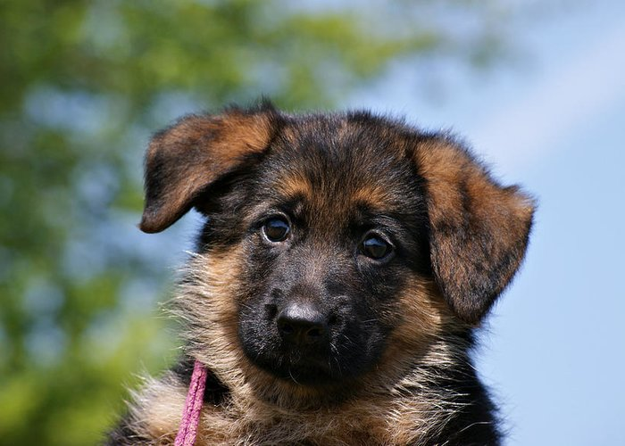 German Shepherd Greeting Card featuring the photograph Little Darling by Sandy Keeton