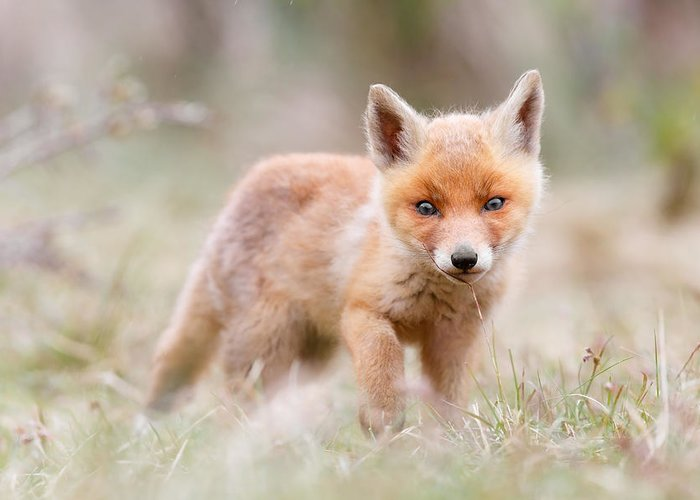 Fox Greeting Card featuring the photograph Little Fox Kit, Big World by Roeselien Raimond