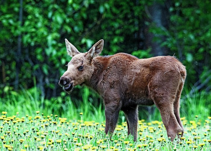 Moose Calf Greeting Card featuring the photograph Little Grinder by Eric Nelson