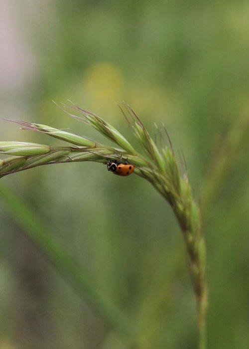 Ladybug Greeting Card featuring the photograph Little Ladybug by Samantha Burrow