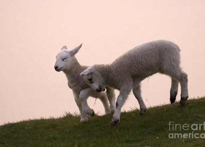 Prancing Lamb Greeting Card featuring the photograph Little Lambs by Angel Ciesniarska