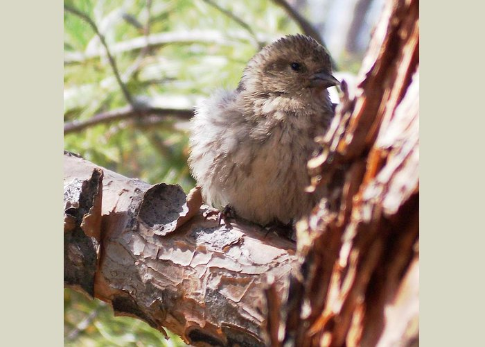 Baby Siskin Greeting Card featuring the photograph Little Shy by Marika Evanson