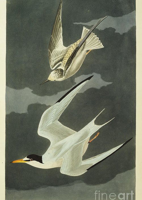 Lesser Tern. Lesser Tern. Little Tern (sterna Albifrons) From 'the Birds Of America' (aquatint & Engraving With Hand-colouring) By John James Audubon (1785-1851) Greeting Card featuring the drawing Little Tern by John James Audubon
