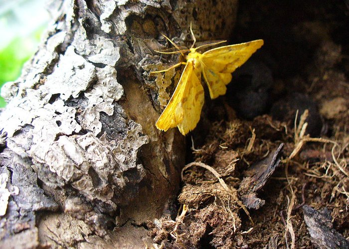 Insect Greeting Card featuring the photograph Little Yellow Moth by Peggy King