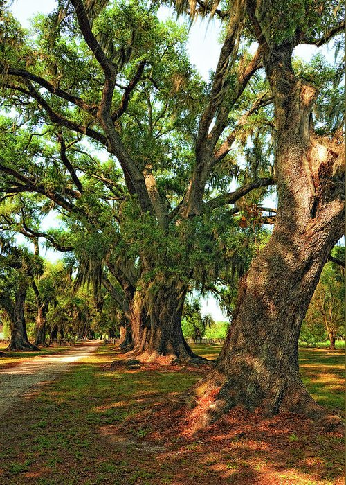 Evergreen Plantation Greeting Card featuring the photograph Live Oak Lane by Steve Harrington