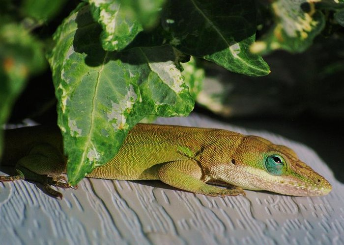 Anole Greeting Card featuring the photograph Lizzy Loves The Sun by Trudi Southerland