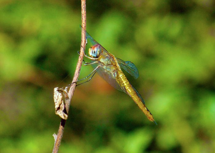 Dragonfly Greeting Card featuring the photograph Lone Dragonfly by Martin Wolfe