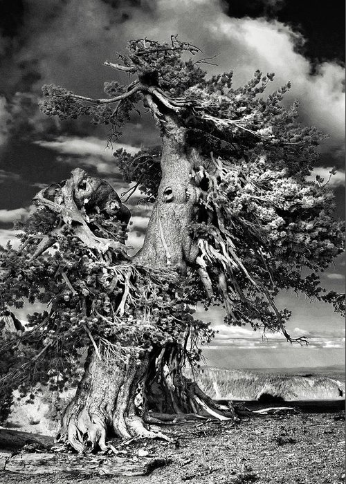 Bristlecone Pine Trees Greeting Card featuring the photograph Lone Gnarled Old Bristlecone Pines At Crater Lake - Oregon by Christine Till