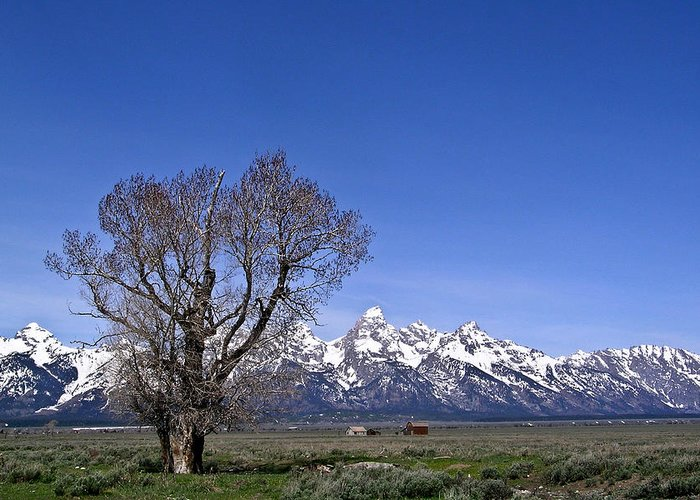 Tree Greeting Card featuring the photograph Lone tree at Tetons by Douglas Barnett