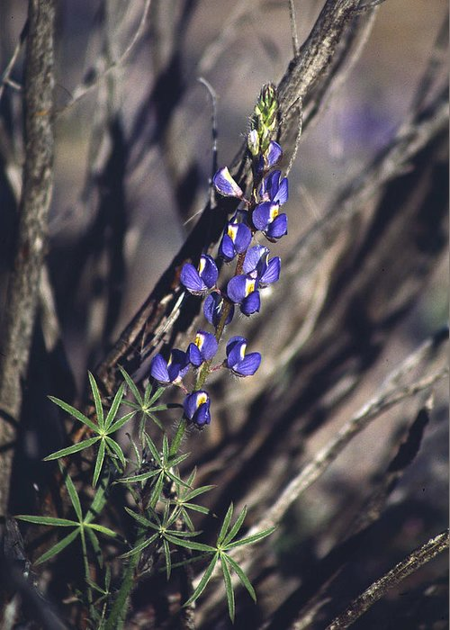 Flower Greeting Card featuring the photograph Lonely Lupine by Randy Oberg