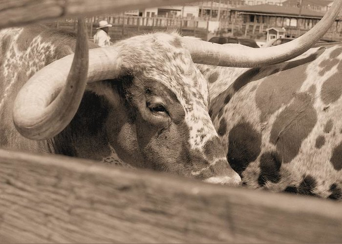 Photgraphy Greeting Card featuring the photograph Longhorn by Lynnette Johns