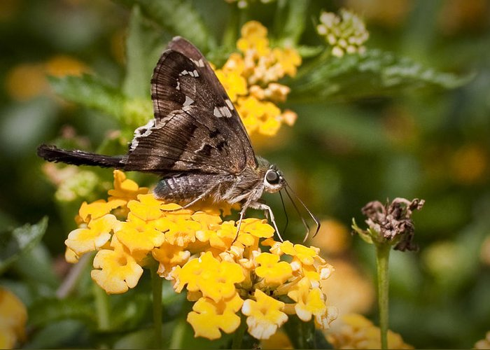 Longtailed Skipper Greeting Card featuring the photograph Longtailed Skipper Urbanus Proteus by Dustin K Ryan