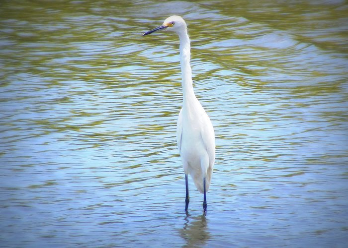Heron Greeting Card featuring the photograph Looking For Lunch by Mandy Shupp