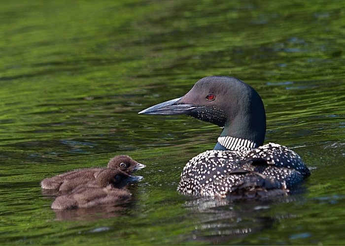 Loon Greeting Card featuring the photograph Loon Afternoon by Peter Gray