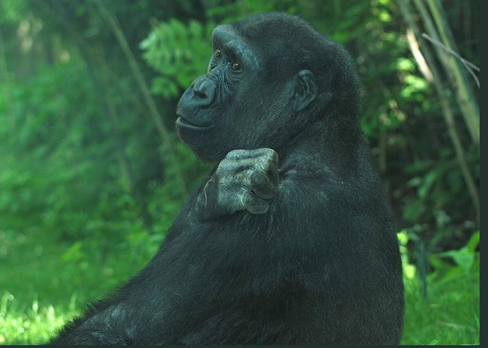 Gorilla Greeting Card featuring the photograph Lost In Thought by Richard Bryce and Family