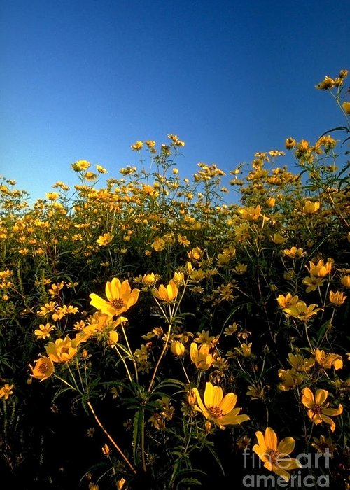 Buttercups Greeting Card featuring the photograph Lots Of Buttercups Against A Blue Sky by Sven Brogren