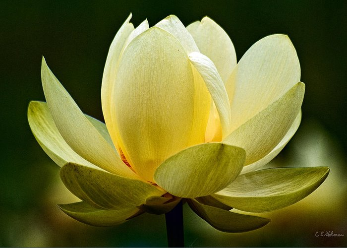Flower Greeting Card featuring the photograph Lotus Blossom by Christopher Holmes