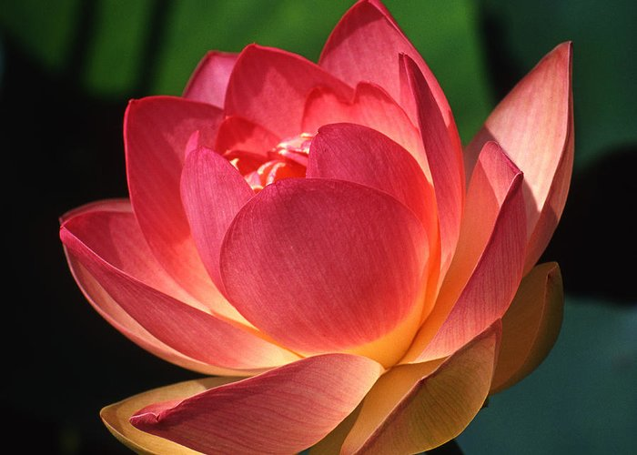 Flower Greeting Card featuring the photograph Lotus Blossom by Jerry Weinstein