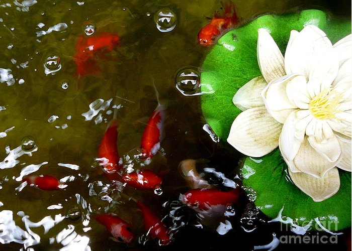 Lotus Flower Greeting Card featuring the photograph Lotus Flower And Gold Fish by Eclectic Captures