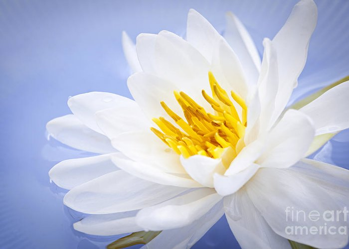 White Waterlily Greeting Cards