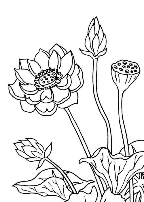 Lotus flowers drawing greeting card for sale by irina sztukowski lotus greeting card featuring the drawing lotus flowers drawing by irina sztukowski mightylinksfo