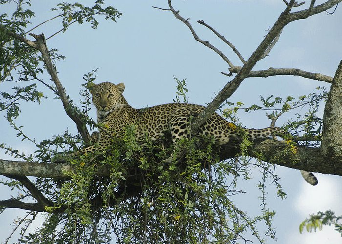 Africa Greeting Card featuring the photograph Lounging Leopard by Michele Burgess
