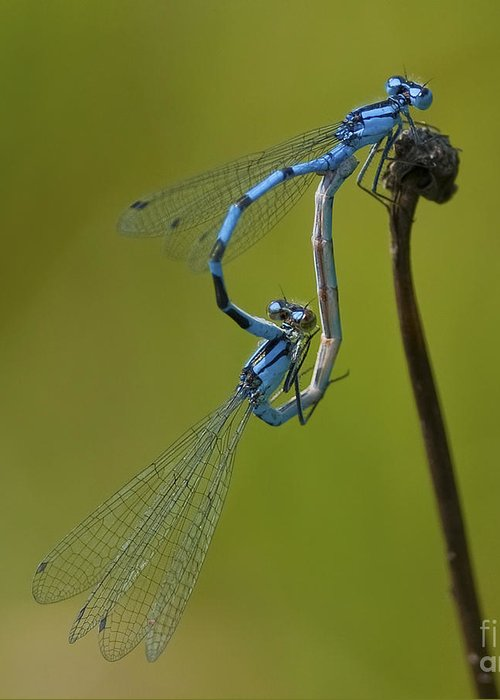 Damselflies Greeting Card featuring the photograph Love Dance.. by Nina Stavlund