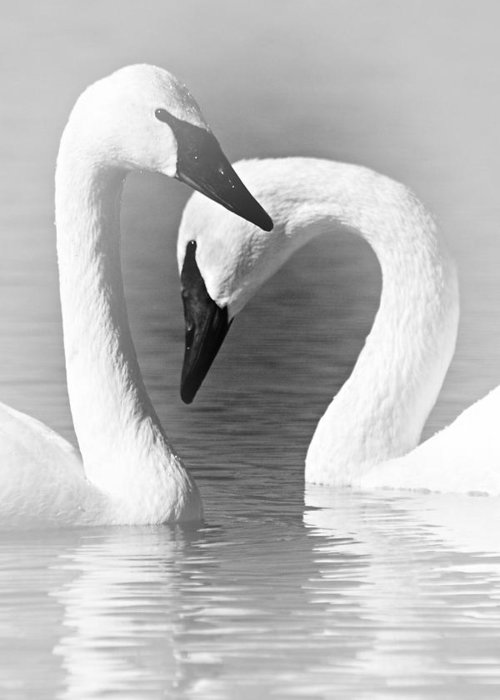 Trumpeter Swans Greeting Card featuring the photograph Love In Black And White by Larry Ricker