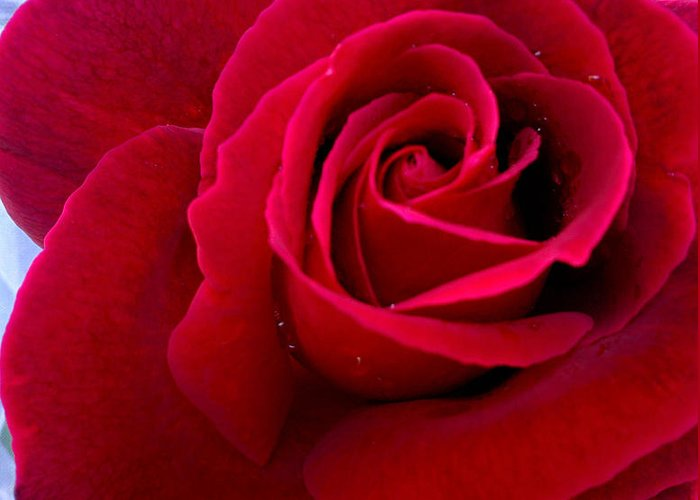 red Rose Greeting Card featuring the photograph Love Red Rose by Haleh Mahbod