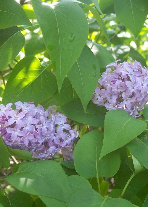 Lavendar Purple Lilacs Flowers Garden Greeting Card featuring the photograph Lovely Lilacs 2 by Anna Villarreal Garbis