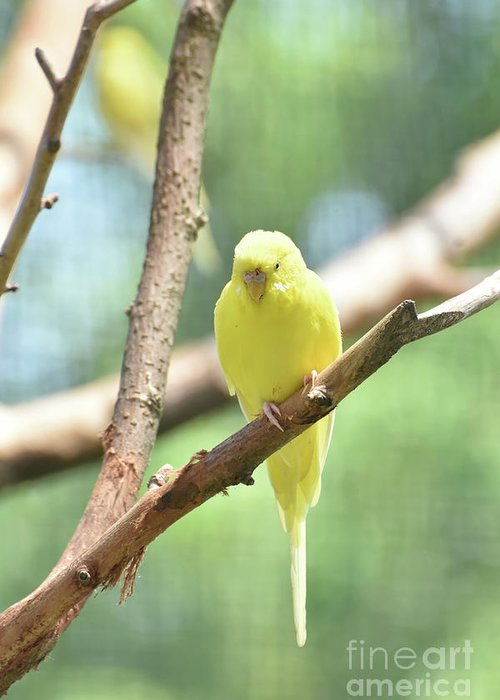 Budgie Greeting Card featuring the photograph Lovely Yellow Budgie Parakeet In The Wild by DejaVu Designs