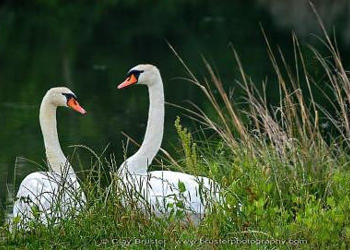 Clay Greeting Card featuring the photograph Loving Swans by Clayton Bruster