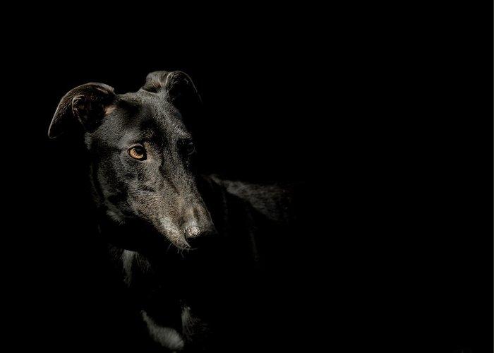 Greyhound Photographs Greeting Cards