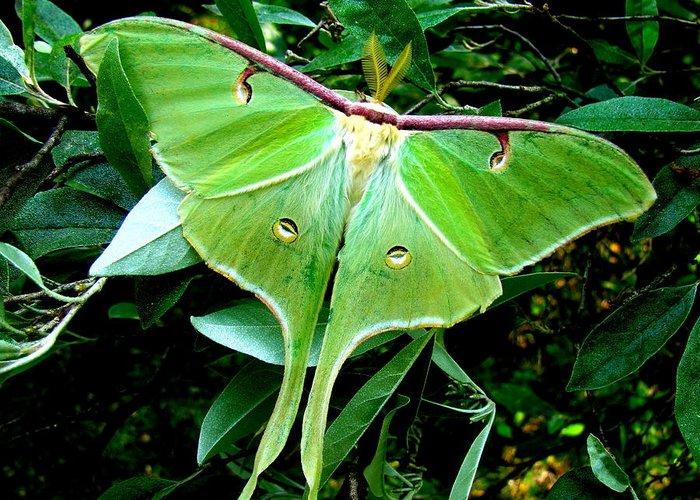 Moth Greeting Card featuring the photograph Luna   by Lisa Jayne Konopka