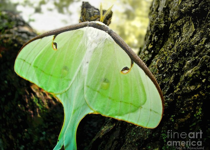 Macro Greeting Card featuring the photograph Luna Moth No. 3 by Todd Blanchard
