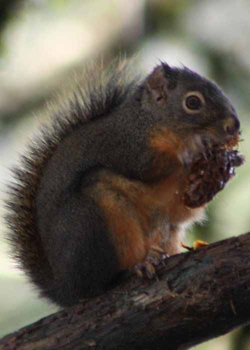 Squirrel Greeting Card featuring the photograph Lunch Time by Nick Gustafson