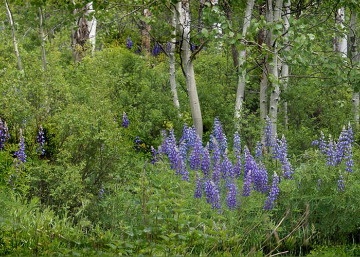 Aspen Greeting Card featuring the photograph Lupine And Aspens by Heather Coen
