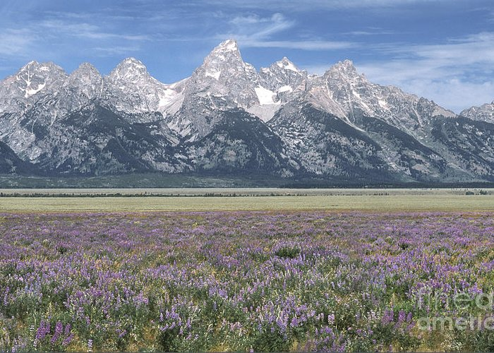 Grand Teton Greeting Card featuring the photograph Lupine And Grand Tetons by Sandra Bronstein