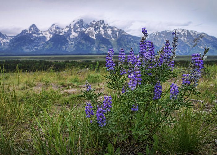 Lupine Beauty Greeting Card featuring the photograph Lupine Beauty by Chad Dutson