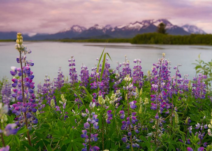Alaska Greeting Card featuring the photograph Lupine Of The Copper River Delta by Scott Slone